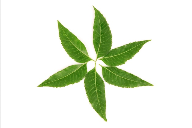 Neem o azadirachta indica foglie verdi isolati su sfondo bianco.