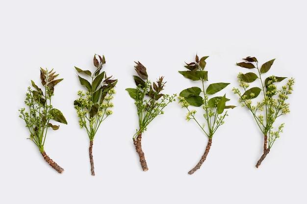 Foglie di neem e fiori su sfondo wihte.