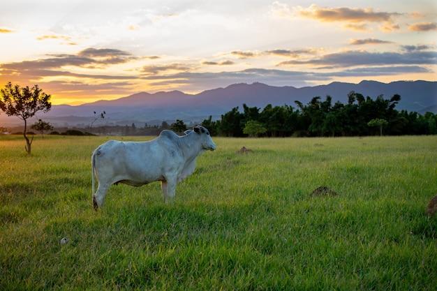 Bestiame nelore al pascolo con un bel tramonto