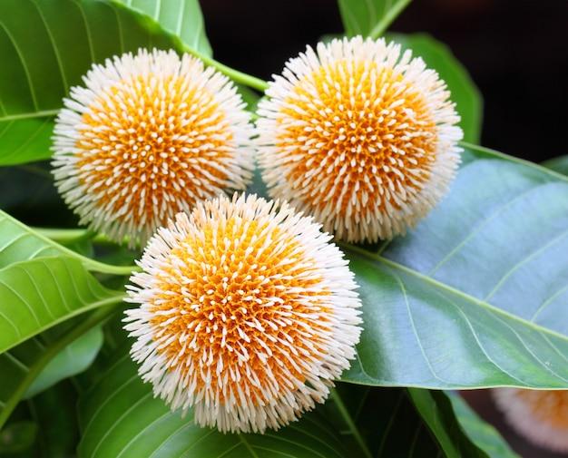 Neolamarckia cadamba o fiore di kodom del bangladesh