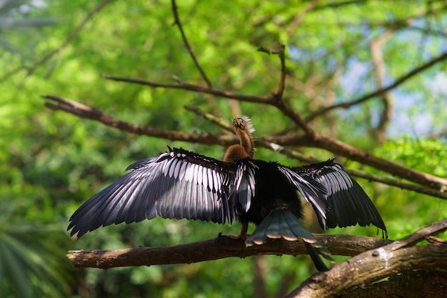 Un cormorano neotropico che asciuga le ali su sfondo verde.