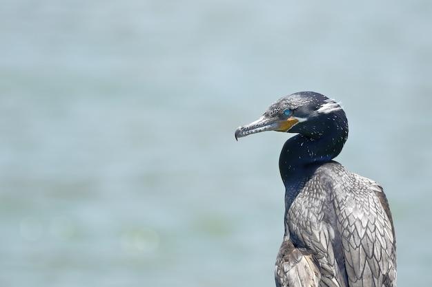 Cormorano neotropico