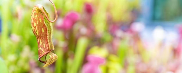 Nepenthes ampullaria, una pianta carnivora in un giardino botanico. copia spazio, banner