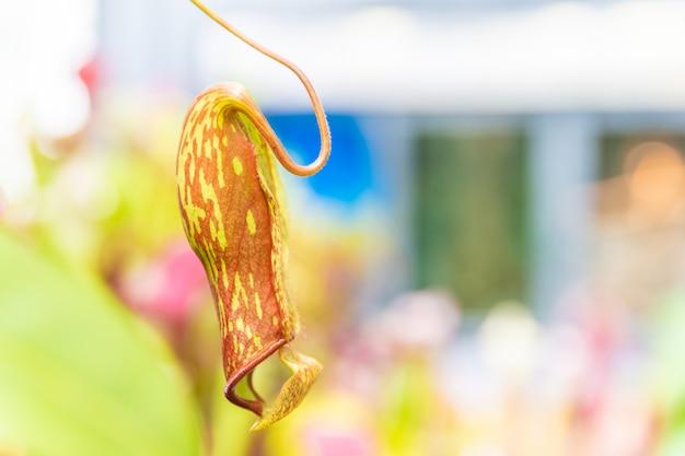 Nepenthes ampullaria, una pianta carnivora in un giardino botanico. copia spazio