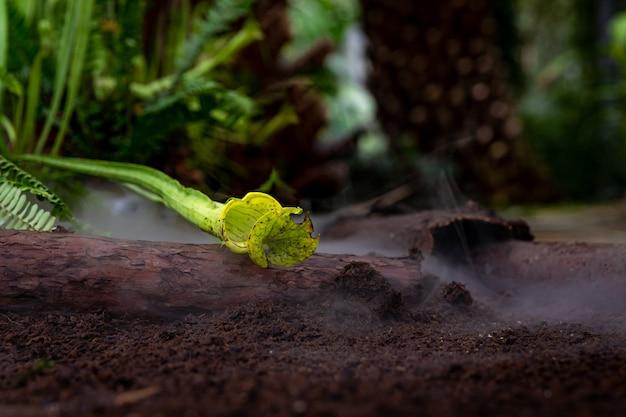 Nebbiose piante carnivore nella nebbia del mattino nella foresta pluviale