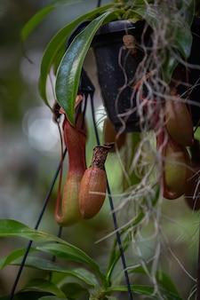 Nepenthes pianta tropicale carnivora che pende da un albero nella serra su uno sfondo sfocato con messa a fuoco selettiva. la foto è stata scattata nel giardino botanico. mosca, russia.