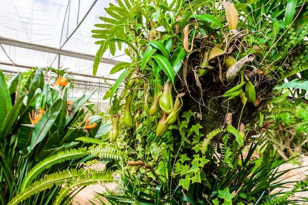 La pianta del nepenthes, scimmia coppa la pianta tropicale, piante pericolose per l'insetto