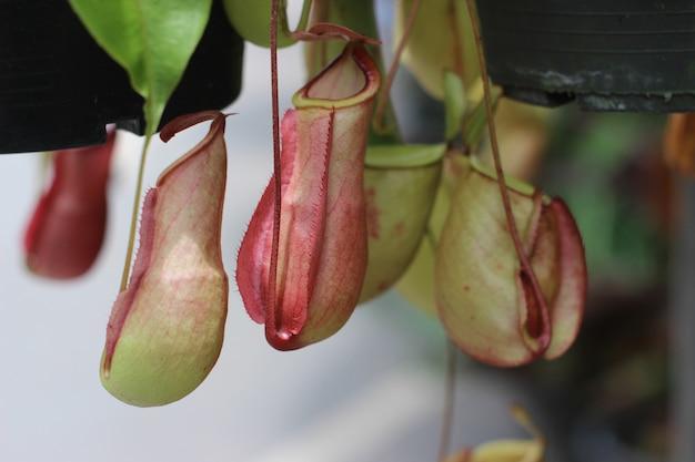 Albero di nepenthes, crescita tropicale delle piante di brocca in natura