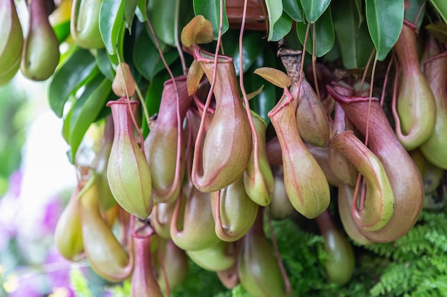 Nepenthes pianta carnivora tropicale in giardino