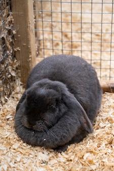 Nerino coniglietto nero alla fattoria, coniglio dalle lunghe orecchie in gabbia
