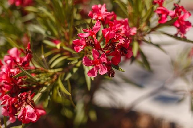 Nerium olender, colorati fiori rossi.