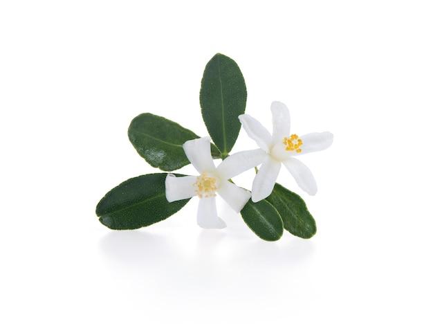 Neroli fiori che sbocciano e foglie verdi ramo su uno sfondo bianco.