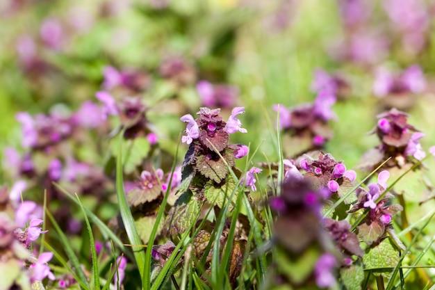 Ortica in fiore nella stagione primaverile