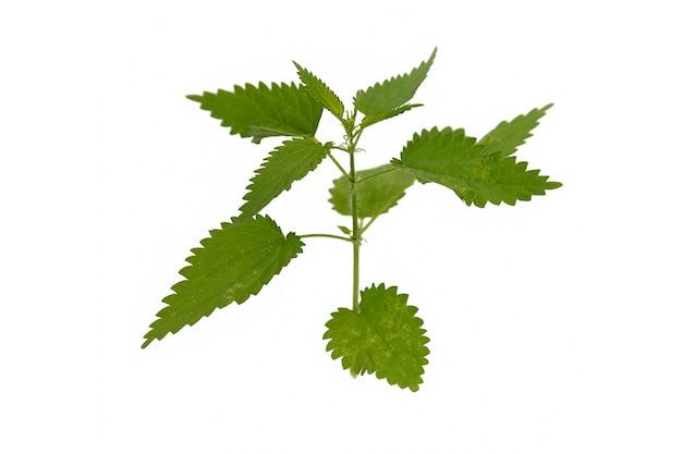 Ramo di ortica con foglie verdi