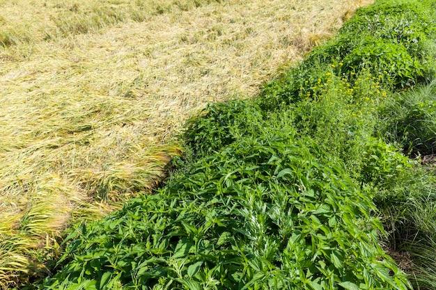 Ortica che cresce accanto a un campo agricolo con grano