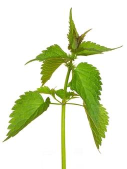 Ortica foglie su uno sfondo bianco isolato. l'ortica è una pianta medicinale_