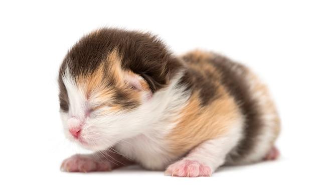 Gattino appena nato dell'altopiano diritto o piega gattino che si trova, isolato su bianco