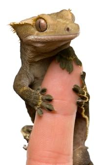 Nuovo geco crestato caledoniano - rhacodactylus ciliatus