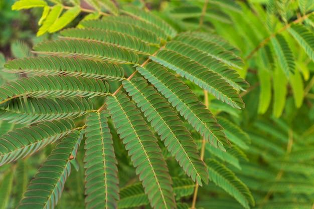 Nuove foglie verdi acacia dealbata mimosa tree (argento o blu wattle) in adler sochi street. ramo di mimosa con grazioso fogliame giovane all'inizio della primavera. bellissimo sfondo primaverile per il design.