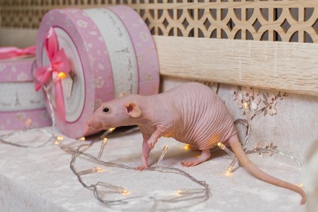 Ratto sfinge calvo del nuovo anno