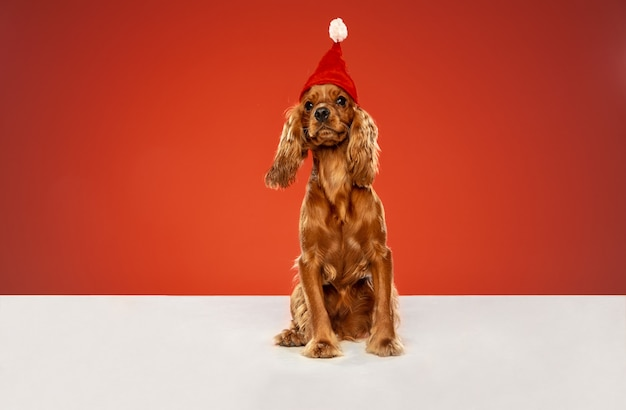 Regalo di capodanno. il giovane cane inglese del cocker spaniel sta posando. simpatico cagnolino marrone giocoso o animale domestico è seduto sul pavimento bianco isolato sulla parete rossa. concetto di movimento, azione, movimento, amore per gli animali domestici.