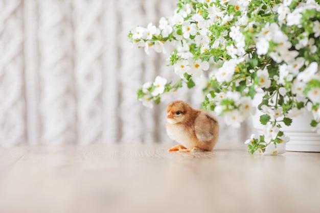 Neonato lanuginoso lanuginoso pollo contro fiori bianchi. simbolo di primavera, vacanze, pasqua, congratulazioni.