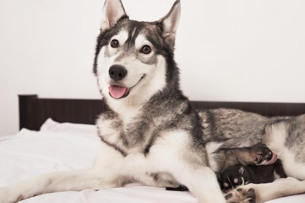 Cucciolo di siberian husky appena nato di 1 giorno. husky dog breeding. concetto di medicina veterinaria, clinica dello zoo, clinica veterinaria. i cuccioli di cane dormono. hotel zoo. hotel per animali. cane husky con cuccioli