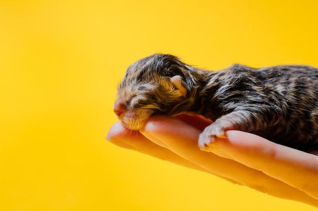 Piccolo gattino appena nato che dorme sulla mano della donna del raccolto