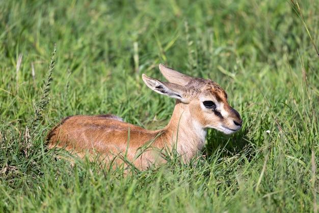 Una gazzella thomson appena nata giace nell'erba