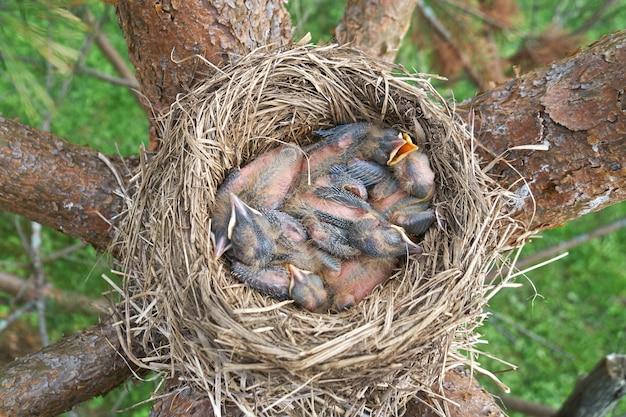 I pulcini di mughetto appena nati dormono nel nido situato sul pino. vista dall'alto