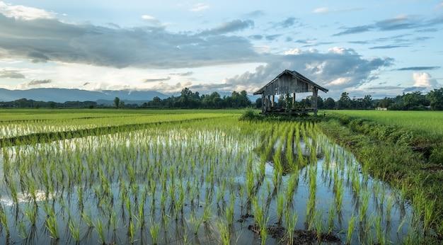 Risaie appena piantate e vecchie capanne. campi rurali in campagna.