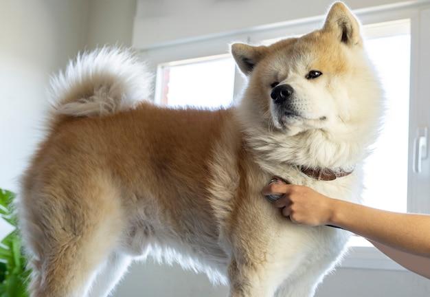 Un bel cane grosso in primo piano viene scortato da un veterinario