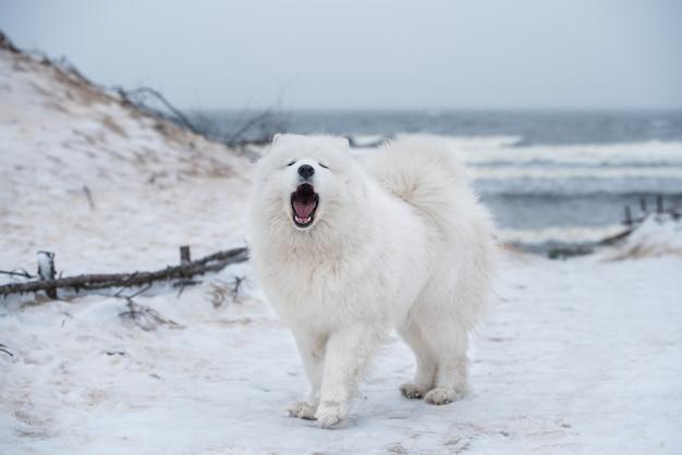 Bel cane bianco samoiedo è la corteccia sulla neve carnikova mar baltico spiaggia in lettonia. il cane lanuginoso bianco è come un orsacchiotto