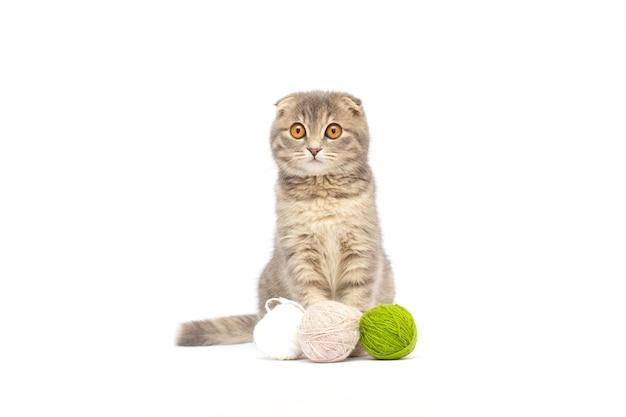Bel gattino tabby scottish fold che gioca con palline di lana rosse