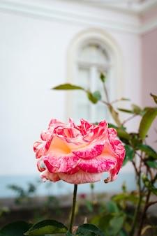 Bella rosa bicolore fotografia di fiori e giardini