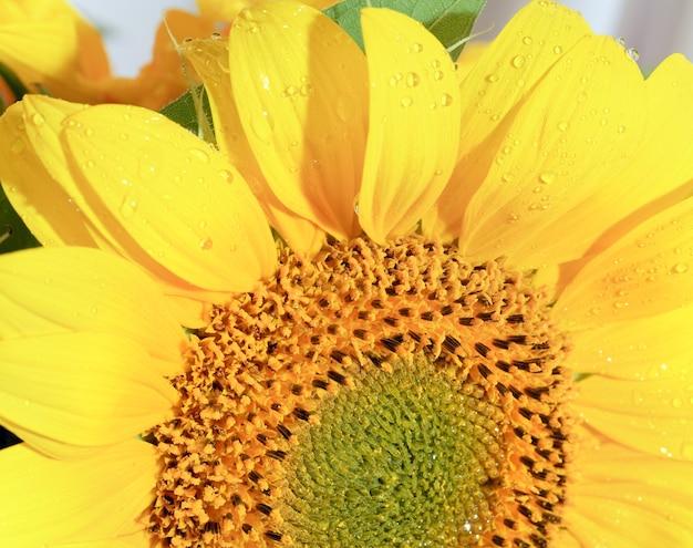 Bel frammento di girasole giallo con rugiada (sfondo naturale) foto macro composita con notevole profondità di nitidezza.