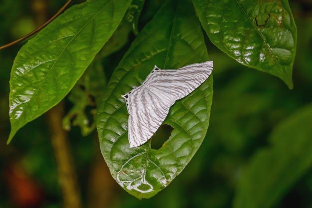 Farfalla notturna