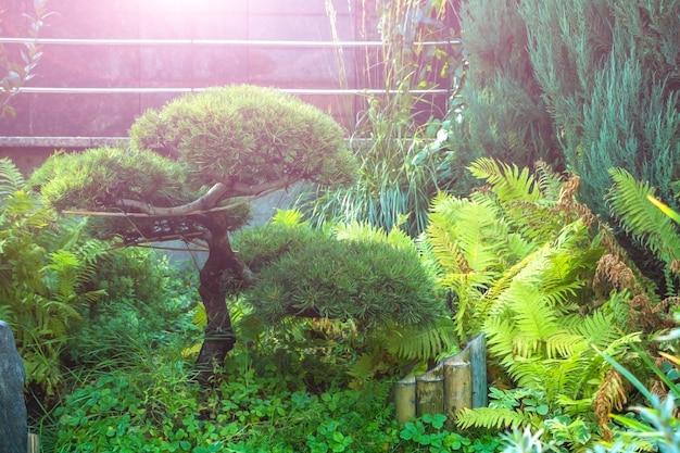 Nivaki o bonsai da giardino. paesaggio del parco di sity con pino, piante verdi di varietà e felce. scenario botanico atmosferico in giornata di sole estivo.