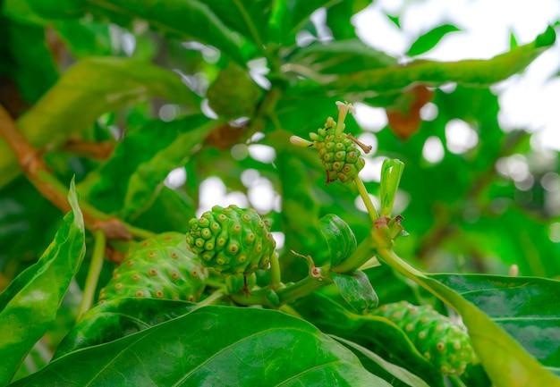 Frutto di noni su albero di morinda citrifolia albero di morinda citrifolia con foglie verdi in giardino