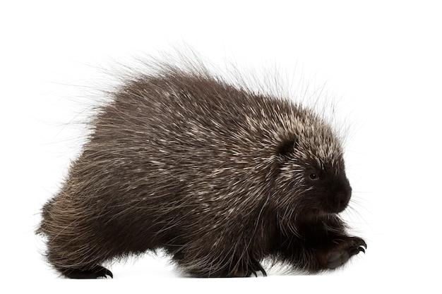 North american porcupine walking, erethizon dorsatum, noto anche come canadian porcupine o common porcupine contro lo spazio bianco