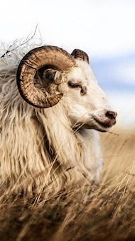 Pecore dalla coda corta dell'europa settentrionale in islanda sfondo del telefono cellulare