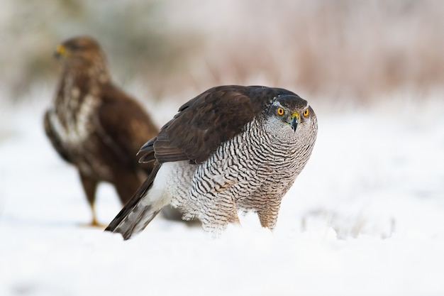 Astore con poiana comune sulla neve in inverno