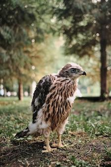 Pulcino nordico dell'astore del falco nel nido
