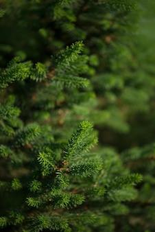 Abete rosso - picea abies o nuovi aghi di abete rosso europeo. trama di sfondo naturale di conifere. sfocatura del fuoco selettivo.