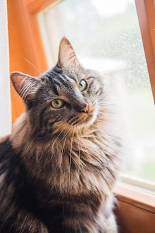 Gatto norvegese che si siede sul davanzale della finestra guardando fuori dalla finestra godersi il sole