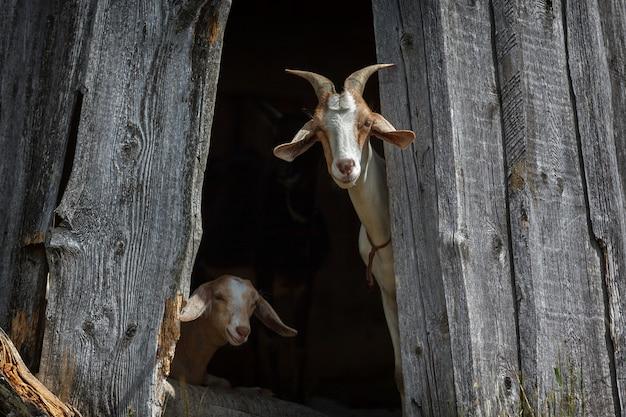 Le capre nubiane si nascondono nell'ombra e ci guardano interessate