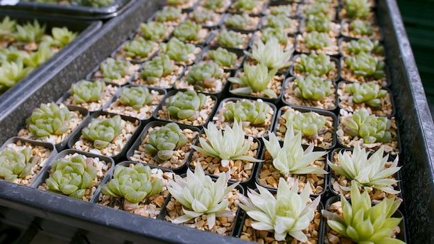 Numerose piante carine e piccole della famiglia dei cactus in vasi fioriti al vivaio