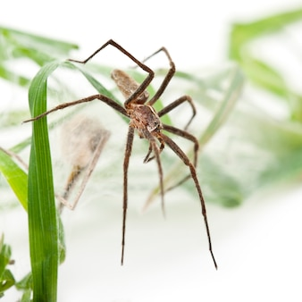 Vivaio web spider pisaura mirabillis con spiderling nel nido isolato