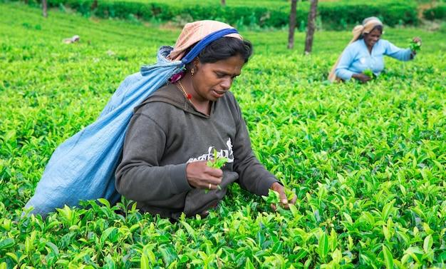 Nuwara eliya, sri lanka - mach 13: raccoglitrice di tè femminile nella piantagione di tè a mackwoods, mach 13, 2017.industria del tè.