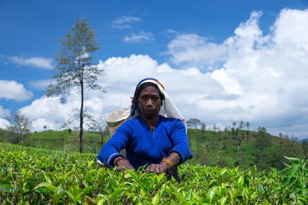 Nuwara eliya, sri lanka - mach 13: raccoglitrice di tè femminile nella piantagione di tè in mackwoods, mach 13, 2017. industria del tè.